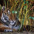 Tiger Hidden In The Tall Grass by Nick Biemans