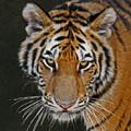 Tiger Hunting by Ernie Echols
