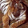 Tiger I by Gary Adkins
