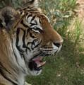Tiger II by Susan Heller