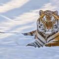 Tiger In The Snow by Rikk Flohr