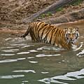 Tiger In The Water by Douglas Barnett