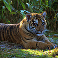 Tiger In Training by Spade Photo