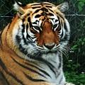 Tiger by Jo-Ann  Matthews