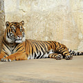 Tiger Resting by Gunther Allen