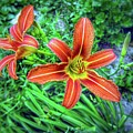 Tiger Lilies by John Myers