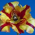 Tiger Lily 2 by Robert Ullmann
