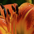 Tiger Lily by Dave Thompsen