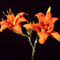 Tiger Lily Flower Opening Part by Ted Kinsman