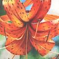 Tiger Lily by Janae Lehto