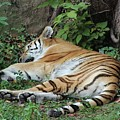Tiger- Lincoln Park Zoo by Rocky Washington