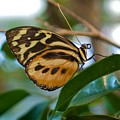 Tiger Longwing Butterfly I by Michele Stoehr