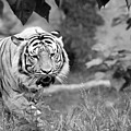Tiger Love by Michelle Stephenson