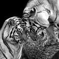 Tiger Love by Stephanie McDowell