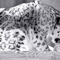 Tiger by Martin Rochefort