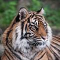 Sumatran Tigress Portrait  by Natasha Balletta
