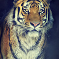 Tiger No 2 by Angela Doelling AD DESIGN Photo and PhotoArt