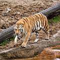 Tiger On The Prowl by Douglas Barnett