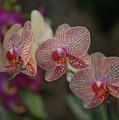 Tiger Orchid by Liz Santie