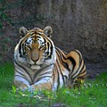 Tiger  by Paul McCarthy