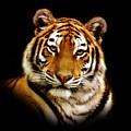 Tiger by Jacky Gerritsen