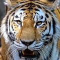 Tiger Portrait 2 by John McArthur