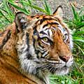 Tiger Portrait by Jennie Marie Schell