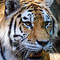 Tiger Portrait by John McArthur
