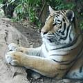 Tiger Portrait by Linda Sannuti