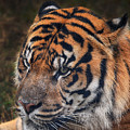 Tiger Portrait by Maggy Marsh