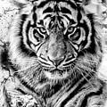 Tiger by Rodrigo Butcher