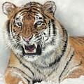 Tiger by Sandra Bartels