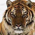 Tiger Stare by Scott Read