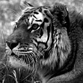 Tiger by Steven Brown