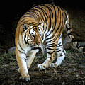 Tiger Stripes Memphis Zoo by Veronica Batterson