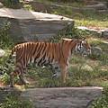 Tiger Stroll by Daniel Henning