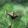 Tiger Swallow Tail by Tom Taylor