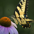Tiger Swallowtail 1 by Teresa Mucha