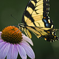 Tiger Swallowtail 2 by Teresa Mucha