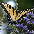 Tiger Swallowtail 3 by J M Farris Photography