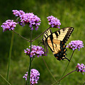 Tiger Swallowtail Among The Verbena   by Robert E Alter Reflections of Infinity