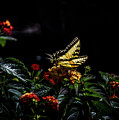 Tiger Swallowtail by Anthony Evans