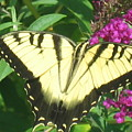 Tiger Swallowtail by Belinda Stucki