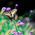 Tiger Swallowtail Butterfly by Chris Lord