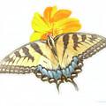 Tiger Swallowtail Butterfly, Cosmos Flower by A Gurmankin