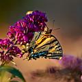 Tiger Swallowtail Butterfly by Laura Scott