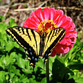 Tiger Swallowtail  Butterfly by Marilyn Hunt