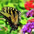 Tiger Swallowtail Butterfly by Nick Zelinsky