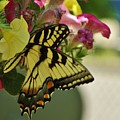 Tiger Swallowtail Butterfly On Begonia Bloom         June            Indiana by Rory Cubel