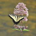 Tiger Swallowtail Butterfly On Common Milkweed 1 by Rich Bodane